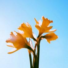 黄百合花高清精美图片
