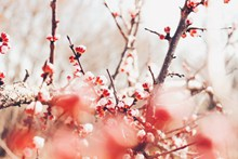 春天的红梅花 春天的红梅花大全图片