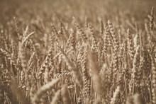 非主流成熟麦穗图片