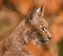 可爱野生山猫图片素材