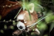 小熊猫睡觉精美图片