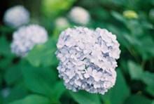 浅蓝色绣球花精美图片