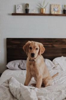 可爱金毛幼犬 可爱金毛幼犬大全图片下载