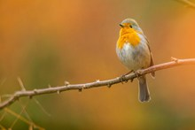 春天枝头小鸟精美图片