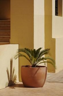 小叶铁树盆栽图片
