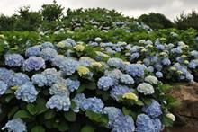 花园绣球花观赏图片素材