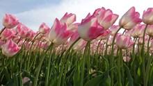 粉白色郁金香花海高清图片