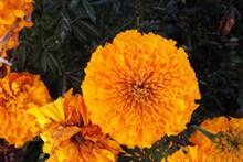 雨后橙色万寿菊高清图片