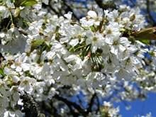 春天白色樱花观赏图片素材