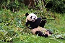 动物园大熊猫图片