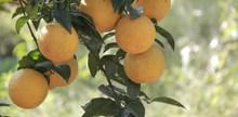 成熟黄色橘橙高清图