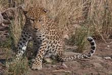 凶狠野生猎豹高清图
