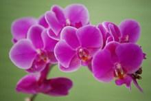 蝴蝶兰盆栽花朵图片下载