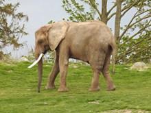 户外草地大象高清图片