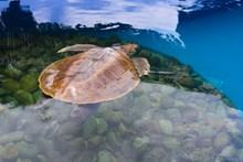 水里游的乌龟高清图片