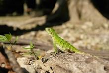 戈壁绿色蜥蜴高清图