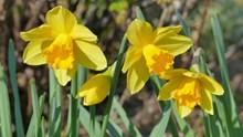 黄色水仙鲜花高清图片