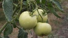 蕃茄蔬菜种植图片下载