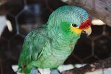 绿色小鹦鹉可爱精美图片