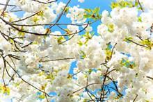 樱花树白色樱花摄影图片大全