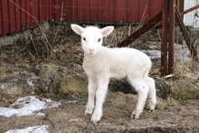 农场可爱小绵羊图片下载