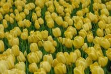 大片黄色郁金香图片大全