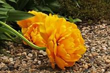 橙色牡丹花图片素材