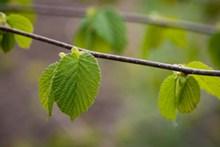 春天枝干发芽高清图片