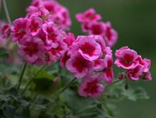 天竺葵花朵摄影图片
