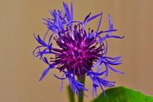 紫色矢车菊微距图片下载