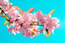 樱花枝盛开樱花高清图片