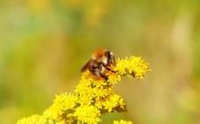 采蜜的大黄蜂图片下载