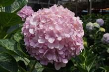 淡粉色绣球花图片