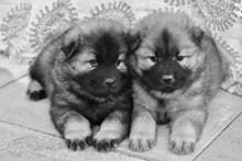 两只小狗黑白照片图片