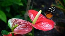 红色马蹄莲花精美图片