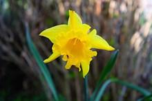 一朵黄水仙图片素材