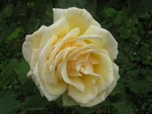 淡黄色玫瑰花朵高清图