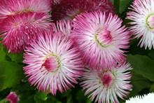 粉红色雏菊鲜花图片大全