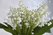 高清白色铃兰花束图片大全