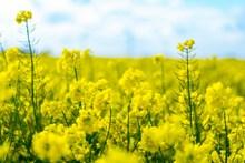 黄色油菜花高清摄影高清图