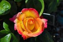橙色玫瑰鲜花图片