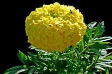 黄色万寿菊鲜花图片