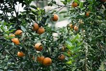 树枝上的橘子高清图片