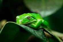 一只绿色青蛙精美图片