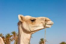 阿拉伯骆驼头部特写图片