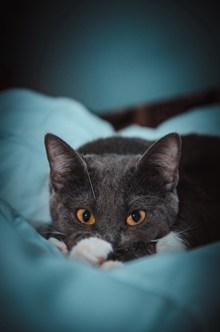 可爱英短蓝猫图片大全