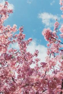 粉色樱花壁纸唯美高清图片