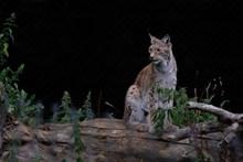 野生山猫猞猁高清图