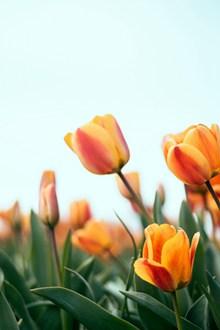 郁金香花朵素材图片