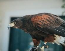 霸气犀利的老鹰图片大全